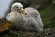 720px-giant-petrel-chick-03.jpg
