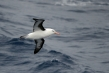 720px-black-browed-albatross-07.jpg