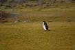 720px-chinstrap-penguin-012.jpg
