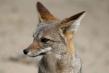 720px-fox-05.jpg