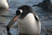 720px-gentoo-penguin-072.jpg