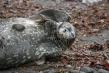 720px-weddell-seal-01.jpg