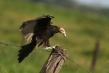 720px-vulture-1.jpg